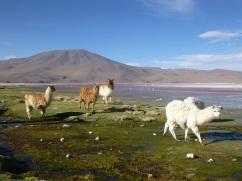 20-lamas-et-alpagas-nous-rejoignent3