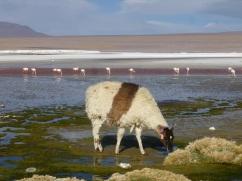 21-lamas-et-alpagas-nous-rejoignent-4