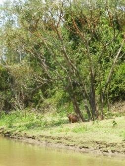 50-durant-notre-trajet-sur-le-fleuve-yacuma-nous-decouvrons-emerveilles-la-faune-amazonienne-ici-un-capybara