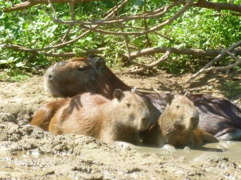51-capybaras