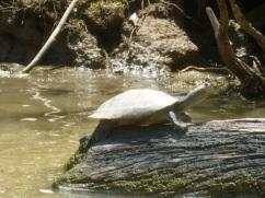 52-le-moindre-bout-de-bois-sur-le-fleuve-se-voit-occupe-par-des-tortues