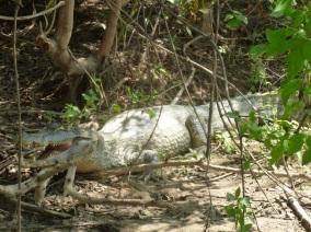54-sur-place-nous-observerons-des-centaines-de-caimans