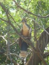 55-cet-oiseau-tres-bruyant-lhoazin-est-repute-etre-le-plus-ancien-encore-existant-il-etait-deja-la-il-y-a-18-millions-dannees