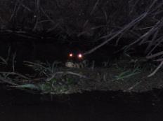 69-le-soir-venu-nous-aurons-loccasion-de-reperer-les-caimans-de-nuit-ces-bestioles-sont-alors-plus-intimidantes-que-de-jour