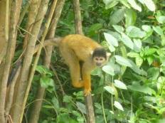 70-a-notre-campement-egalement-nous-pouvons-observer-des-singes-ecureuil