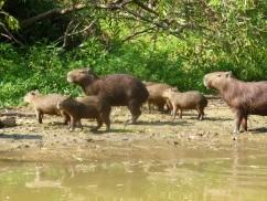 78-famille-de-capybaras