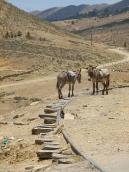 78-mules-a-tarabuco