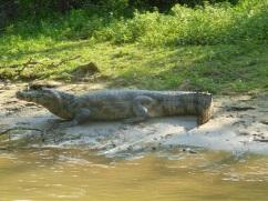 80-le-caiman-guette-quil-soit-sur-terre