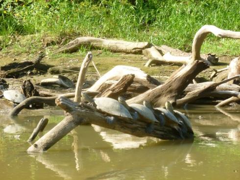 82-les-tortues-elles-prennent-des-bains-de-soleil-en-groupe