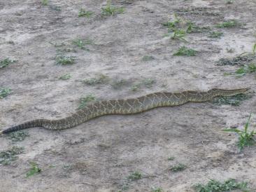83-en-soiree-nous-tombons-nez-a-nez-avec-un-serpent-a-sonnette