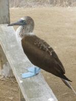 43. L'oiseau des lieux - Le fou aux pieds bleus