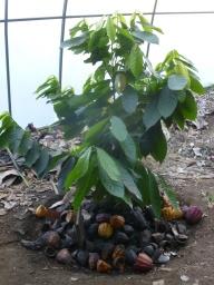 36. Jeune cacaoyer