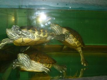 39. Dans notre hôtel, trois belles tortues sont entassées dans un aquarium minuscule
