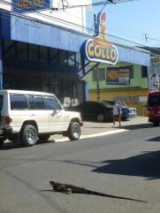 49. Ville de Quepos, un iguane tente de traverser la route