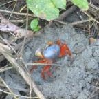 53. Au Costa Rica même les simples crabes sont multicolores