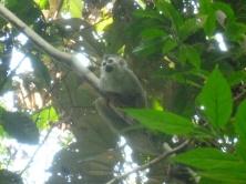 69. Singe-écureuil