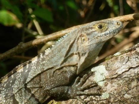 74. Iguane2