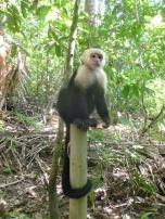 Costa Rica -Singe à tête blanche - Parc Manuel Antonio - voyager sans fin
