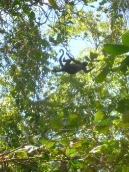 Costa Rica - Parc Cahuita - Singe