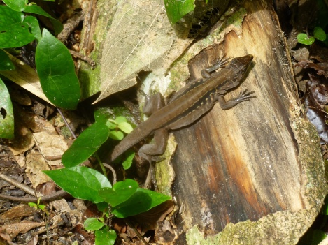 Costa Rica - Parc Cahuita - Reptile