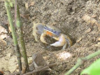Costa Rica - Parc Cahuita - Crabe