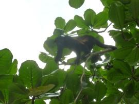 Costa Rica - Parc Cahuita - Singe hurleur