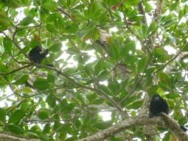 Costa Rica - Parc Cahuita - Singes hurleurs