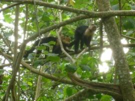 Costa Rica - Parc Cahuita - Singes à tête blanche