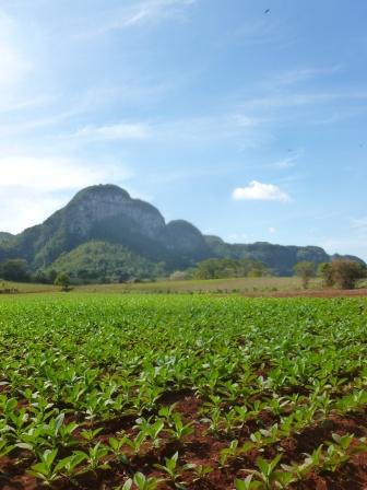 Cuba - Vinales - Balade champs de tabac