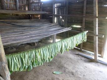 Cuba - Vinales - Séchage des feuilles de tabac