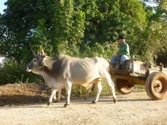 Cuba - Vinales - Charette à boeufs