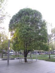 120. Le Survivor Tree (resté sur pied malgré le 11 septembre)